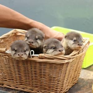 basket of otter