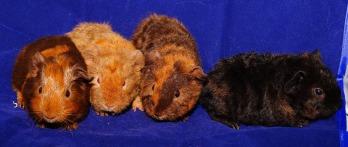 guinea-pig-1423515_1280