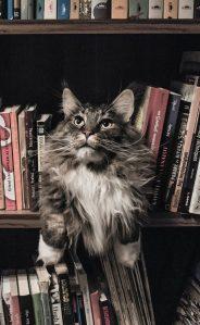 fluffy gray tabby with white bib sitting on bookshelf between books